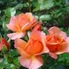 Чайно-гибридные розы. Выращивание и уход