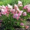 Гортензия садовая и комнатная: уход за цветами в домашних условиях и открытом грунте
